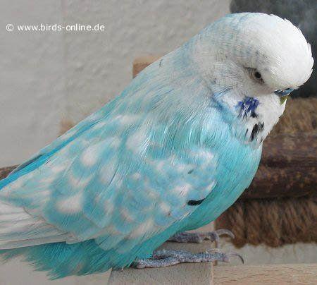 Sky blue spangle