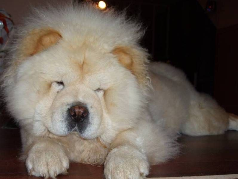 A Chow Chow Chow Chow Puppy