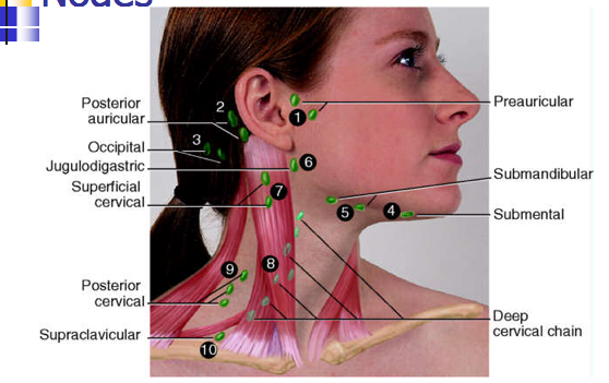 Preauricular lymph node yahoo image search results advanced preauricular lymph node yahoo image search results ccuart Images