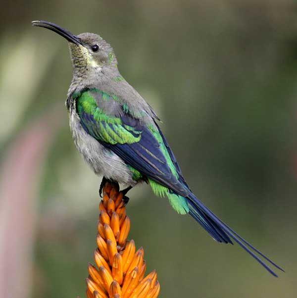 Birds Sunbird: The Malachite Sunbird (Nectarinia Famosa) Is A Small