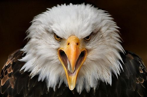 FB PHOTO BALD EAGLE HEAD SHOT | My place in Nature is secure… | Flickr
