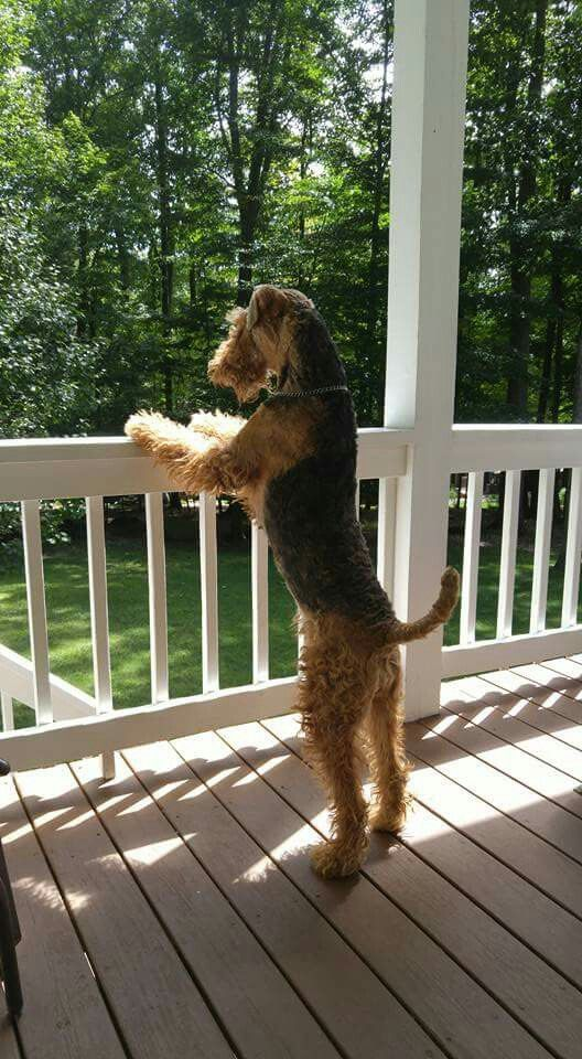 She Is Coming And I Will Give Her An Enthusiastic Welcome After All She S Been Away For At Least An Hour Airedale Dogs Airedale Terrier Irish Terrier