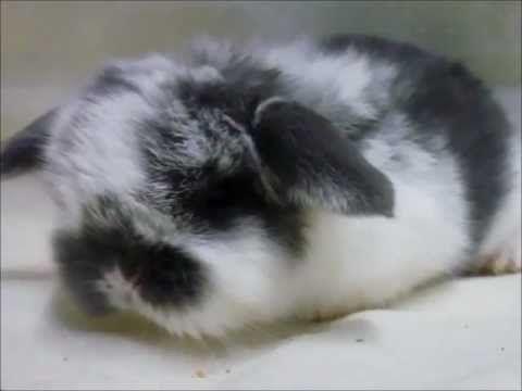 Cute Mini Lop Baby Bunnies Cute Baby Bunnies Mini Lop Bunnies Mini Lop