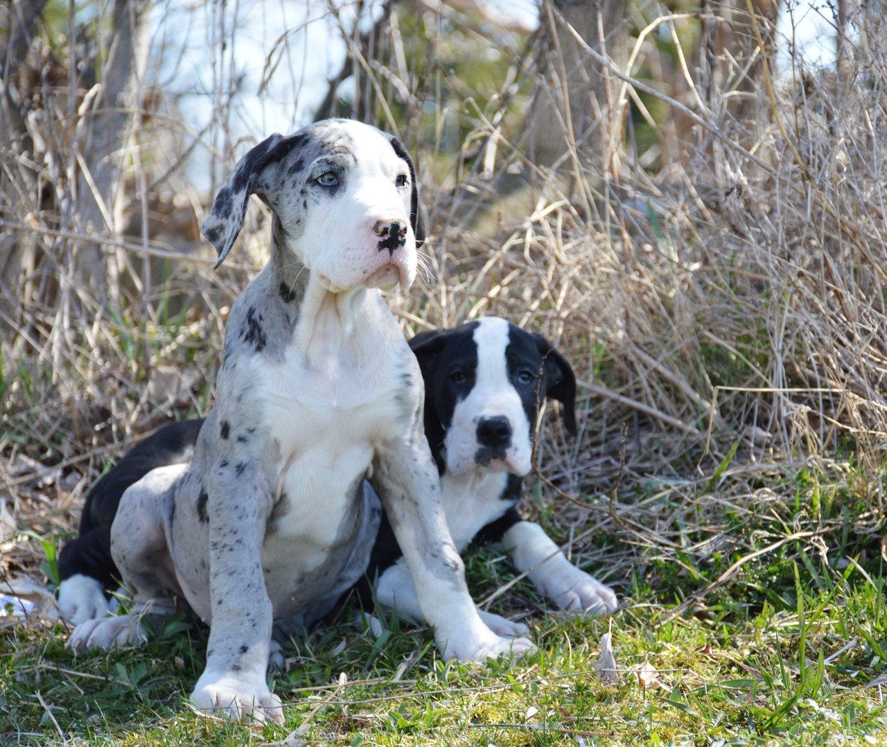 Merle Mantle And Mantle Great Dane Puppies Great Dane Puppy