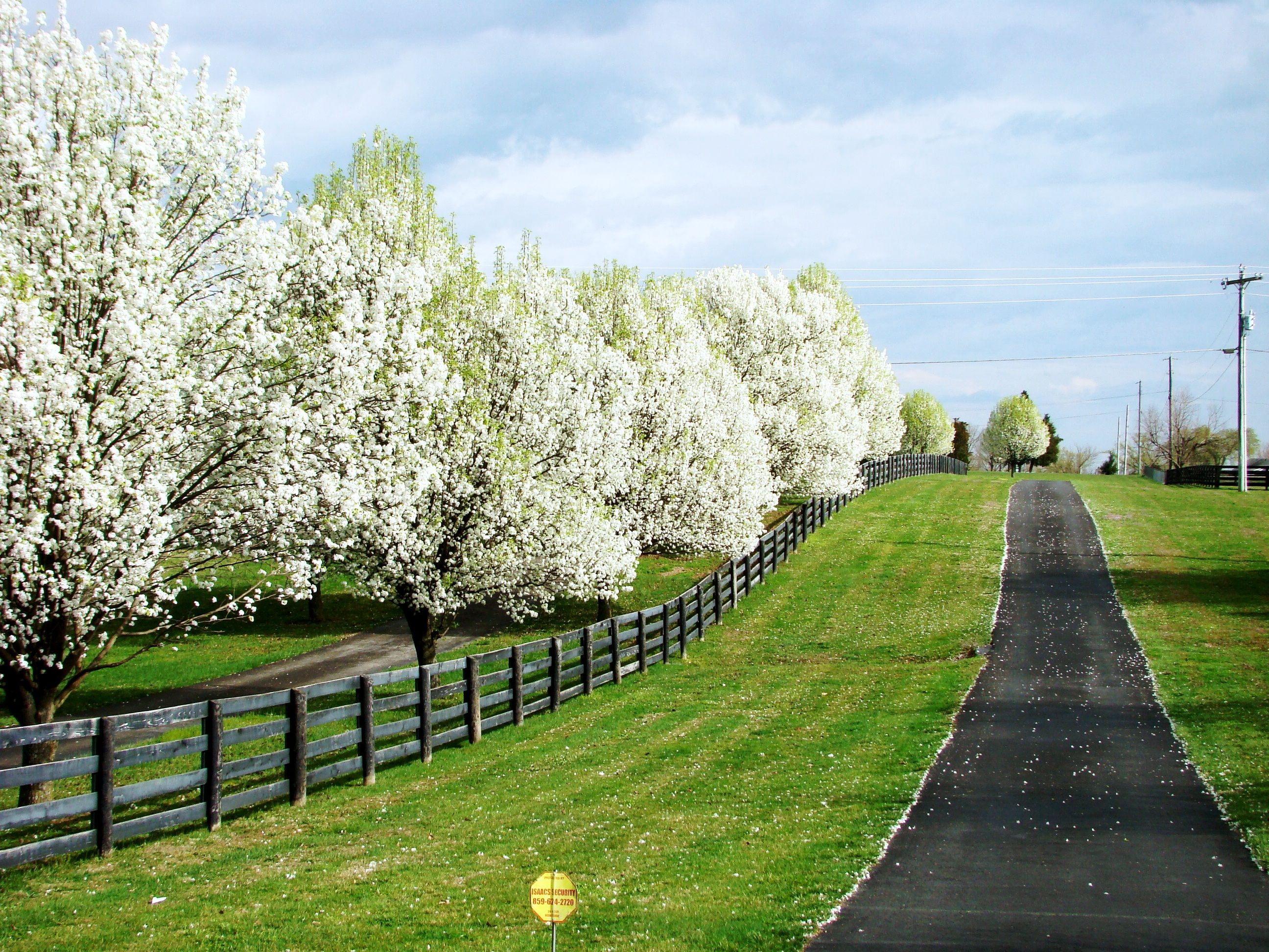 Landscaping With Pear Trees : A row of bradford pear trees along the driveway