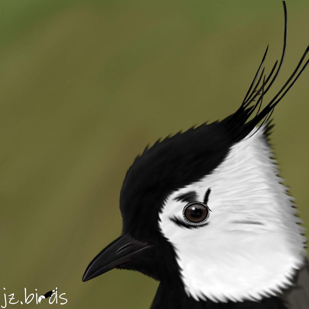 The Northern Lapwing Is The Bird Of The Year 2019 In Switzerland Bird Animals Birds