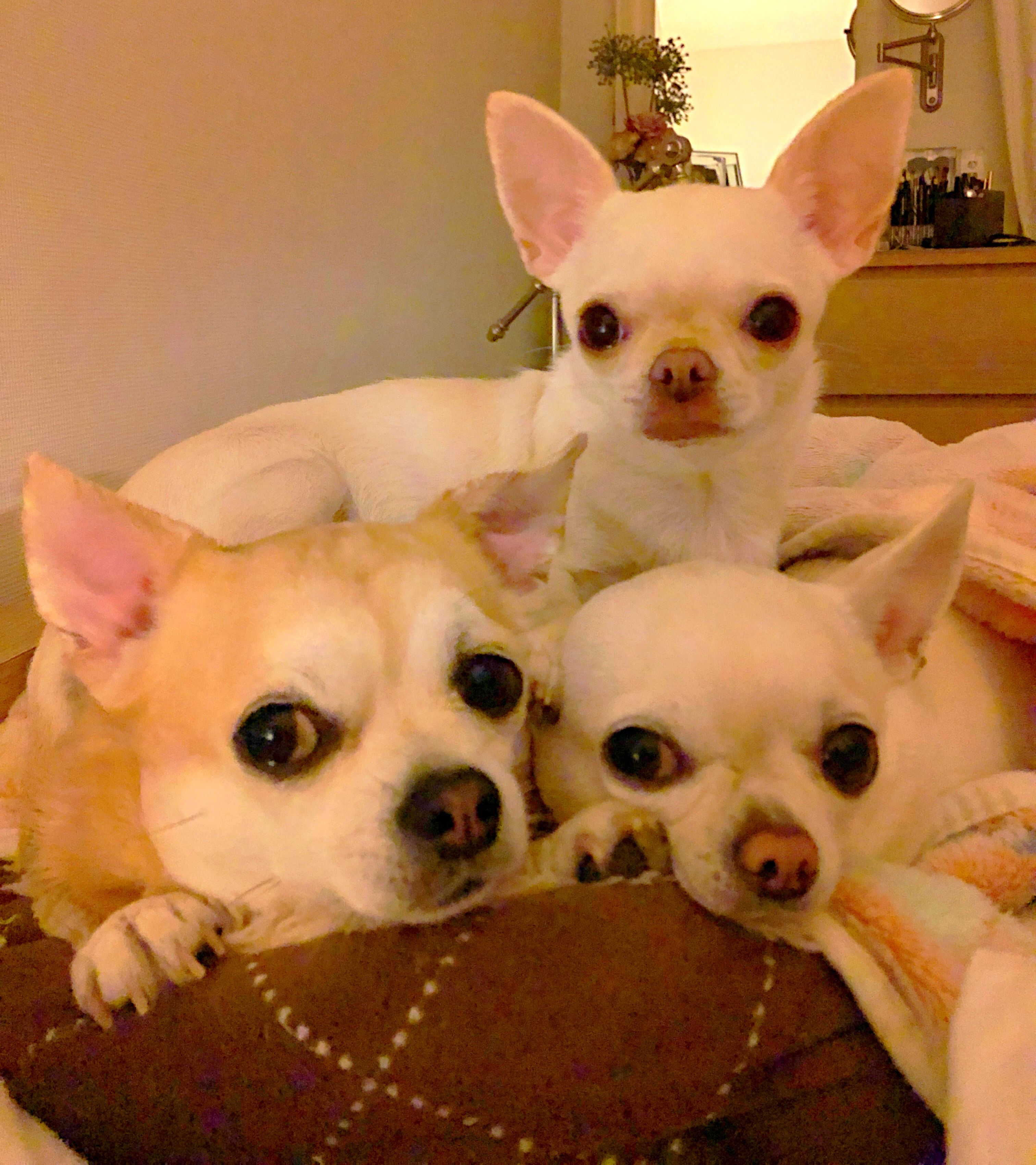 Pin By Sommer Bingham On Animals Cute Chihuahua