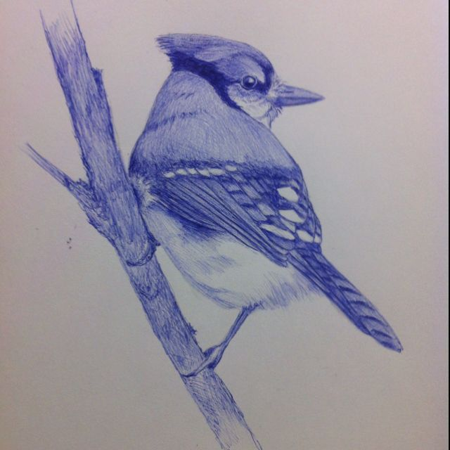 Tonights Sketch I Chose To Do A Blue Jay With Blue Bic Pen