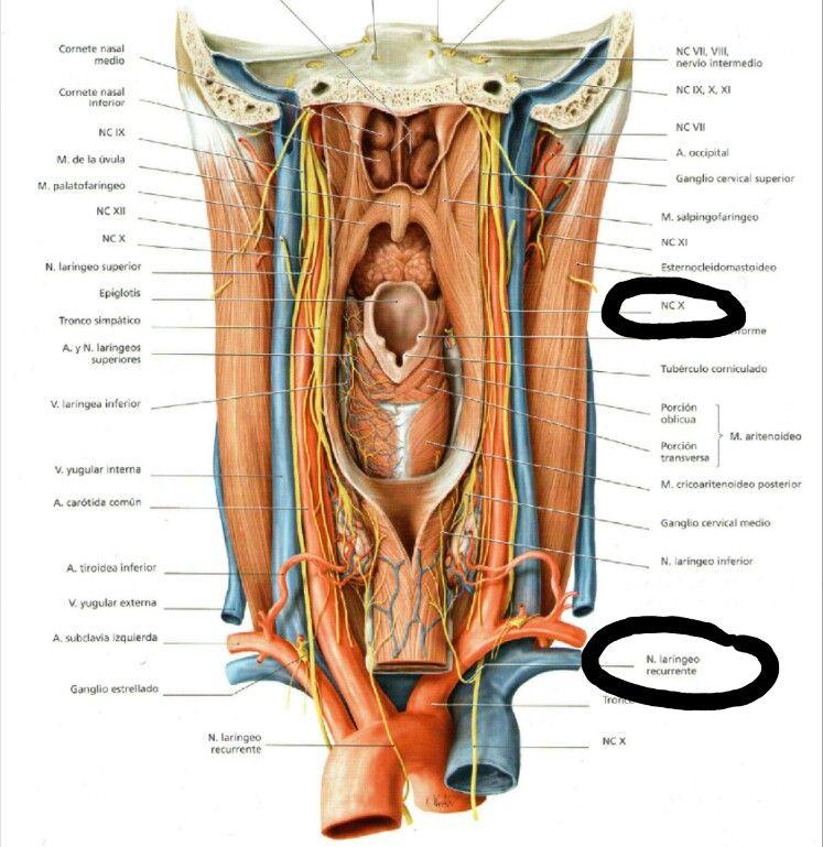 Se destacan el nervio laríngeo recurrente que es una rama del vago ya que se atrapamiento puede causar una disfonía reciente. Este nervio pasa alrededor del bronquio principal izquierdo (no se muestra en la foto)