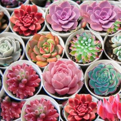 THE LOTUS SUCCULENT 10 PC SEEDS
