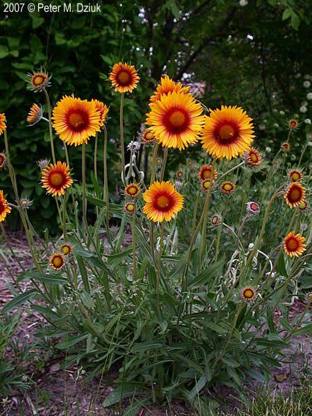 Flower Garden Ideas Minnesota gaillardia aristata (blanketflower): minnesota wildflowers