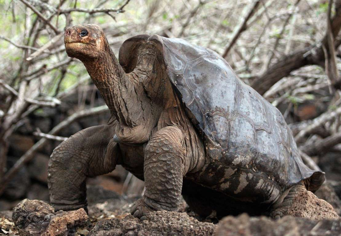 Pinta Island Tortoise, Extinct