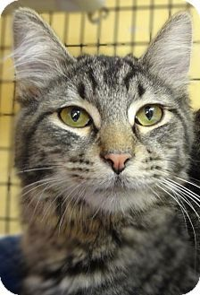 St. Paul, MN - Domestic Shorthair. Meet Tesla, a cat for adoption. http://www.adoptapet.com/pet/15303028-st-paul-minnesota-cat