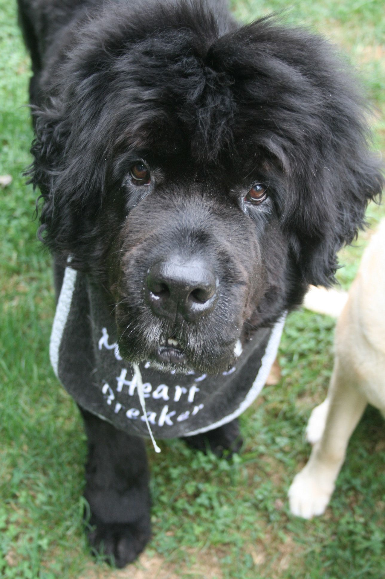 Pin by Andrea J on Newfies Newfoundland, Animals, Pets