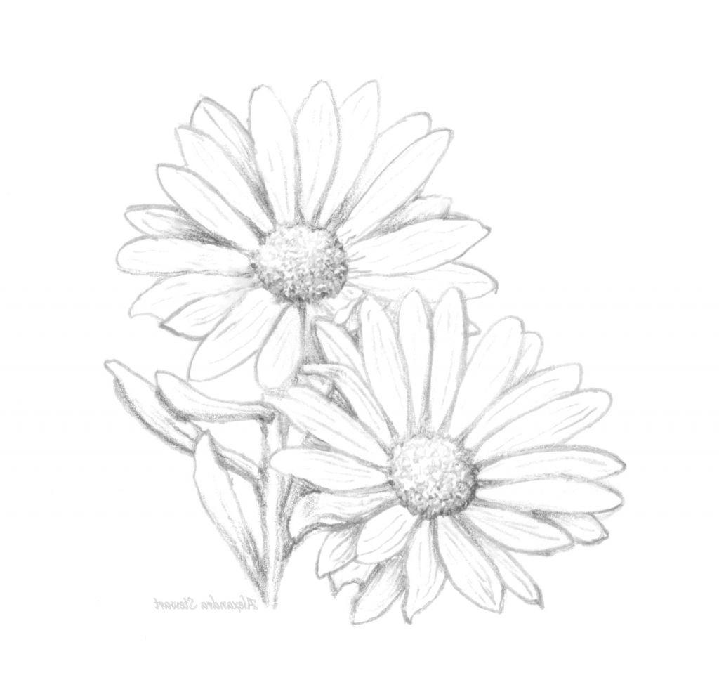 Drawing of a daisy daisy pencil drawing painting daisy