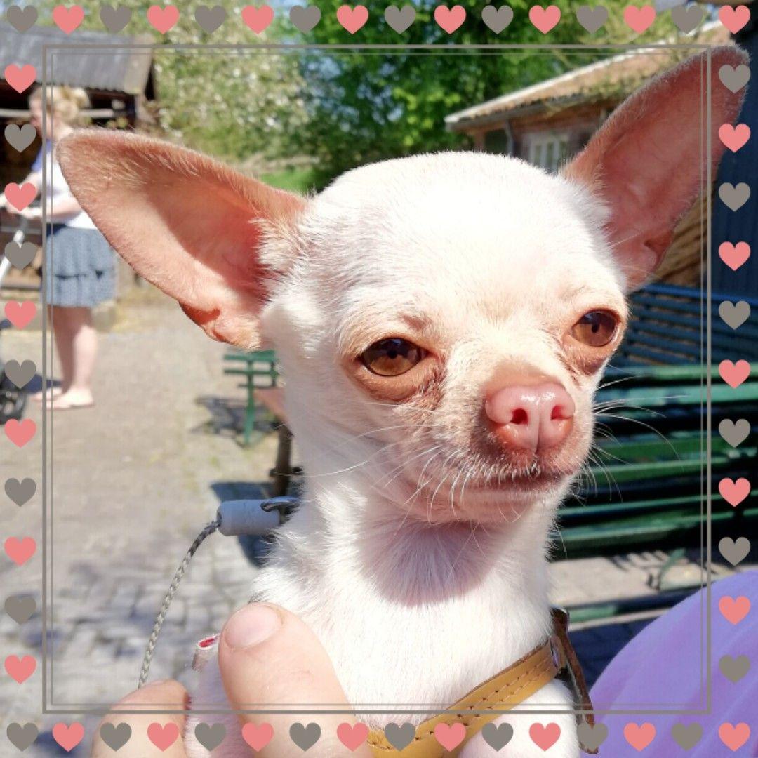Chihuahua Love By Ella Jessica On Chihuahuas Chihuahua Puppies