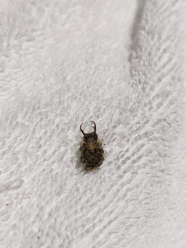 Found In Nsw Australia After Bringing The Washing In Approximately 11mm Excluding The Pincers In 2020