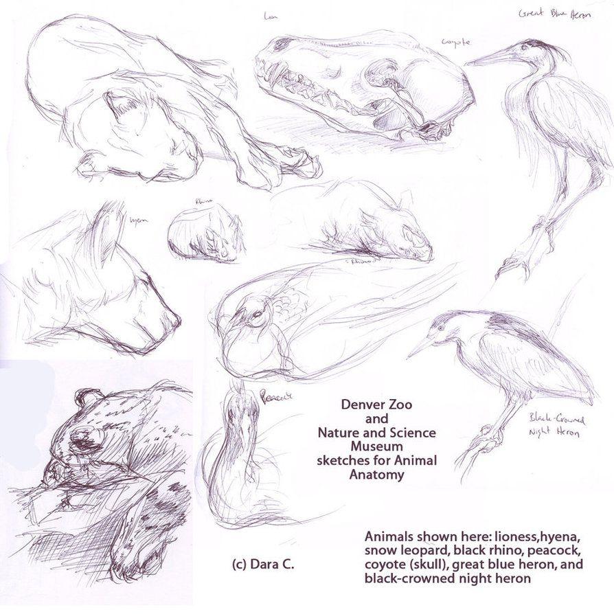 Animal Sketches | Animal Anatomy & Illustration | Pinterest | Animal ...