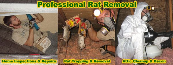How To Get Rid Of Rats In The Attic House Walls Getting Rid Of Mice Rat Repellent Rodent Control