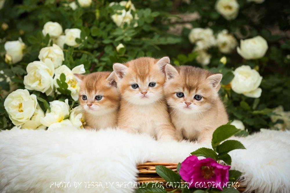 Kittens For Sale Purchase British Shorthair Blue Golden Golden