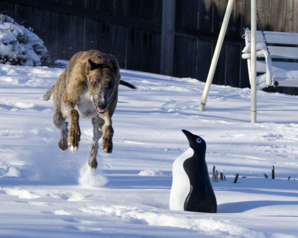 Bear running in the snow. He has all four feet off the ground.
