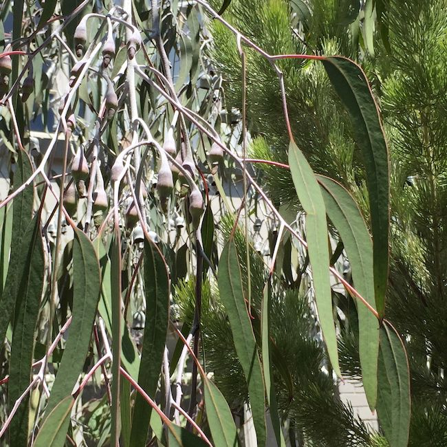 Eucalyptus Caesia With Long Leaves Oncoming Buds And Pine Backdrop Flowers Plants Trees Shrubs Flowering Trees Trees To Plant Plant Leaves