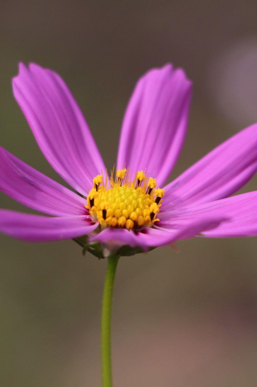 The 35 Best Flower Photos Beautiful Pinterest Cosmos Flower