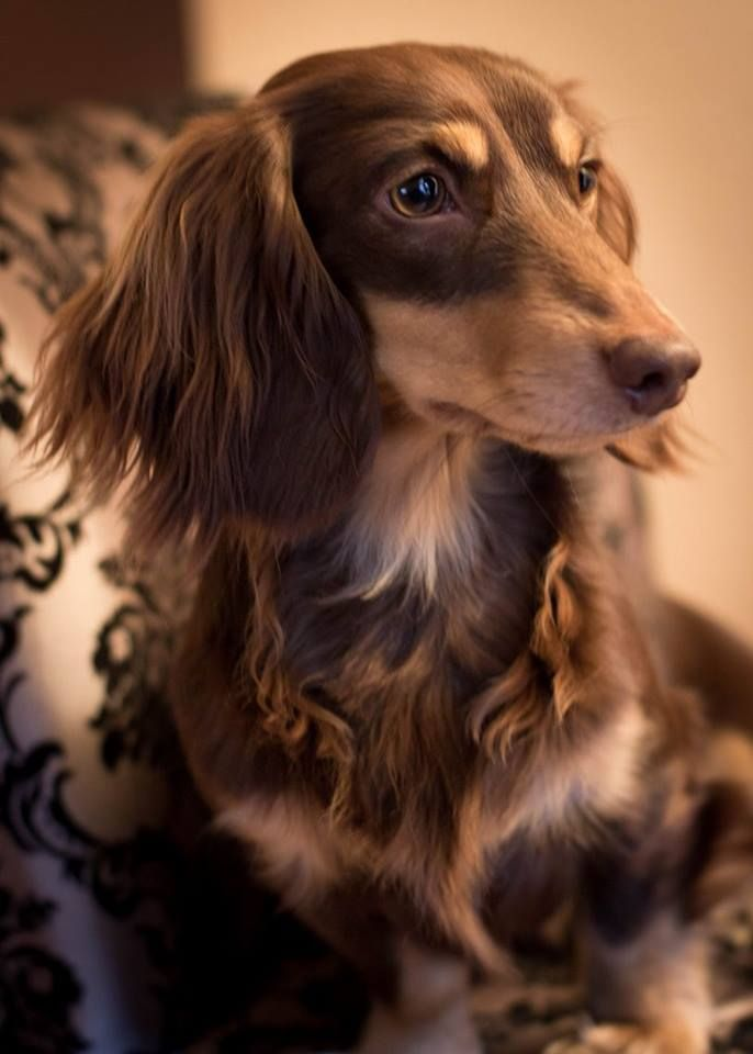 Alphy Longhaired Chocolate And Cream Miniature Dachshund