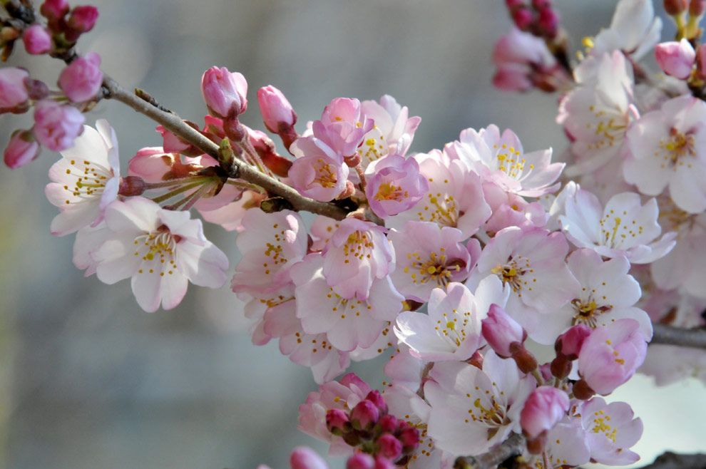 Japanese Cherry Blossom Scent Top Review Centre