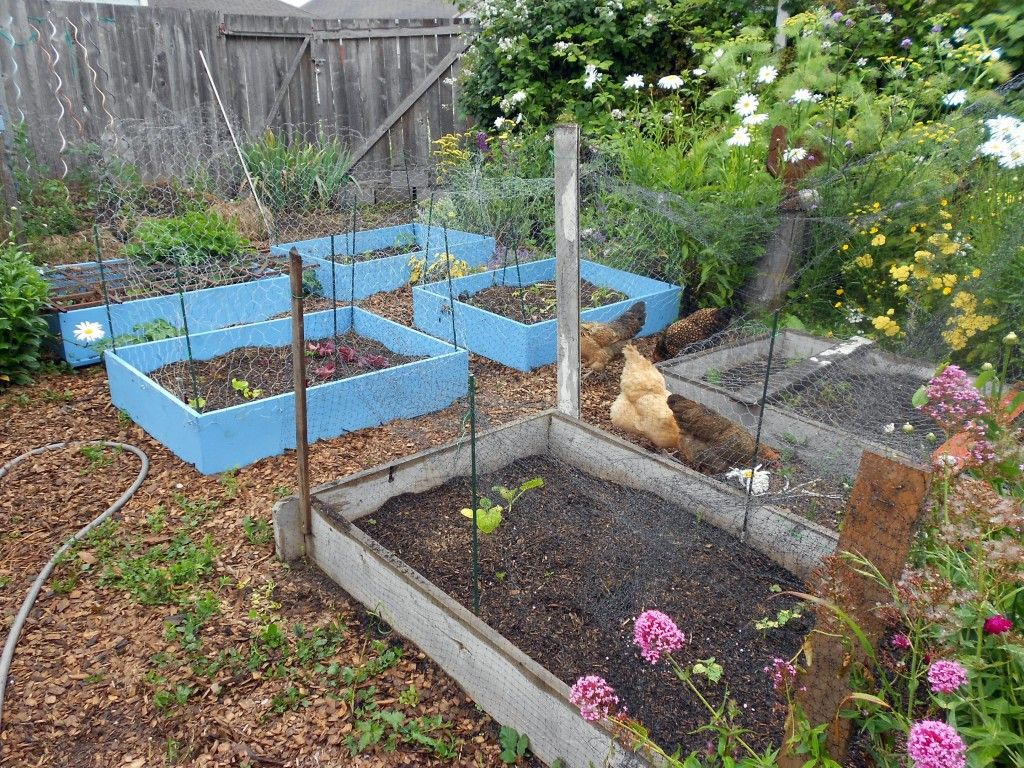 Chickens Vs Raised Beds, Round 2   Garden Rant   Iu0027m Not Sure