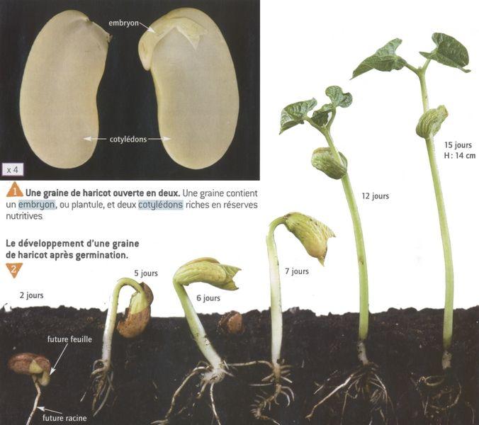 afficher l 39 image d 39 origine plantes pinterest les graines images et plantes. Black Bedroom Furniture Sets. Home Design Ideas