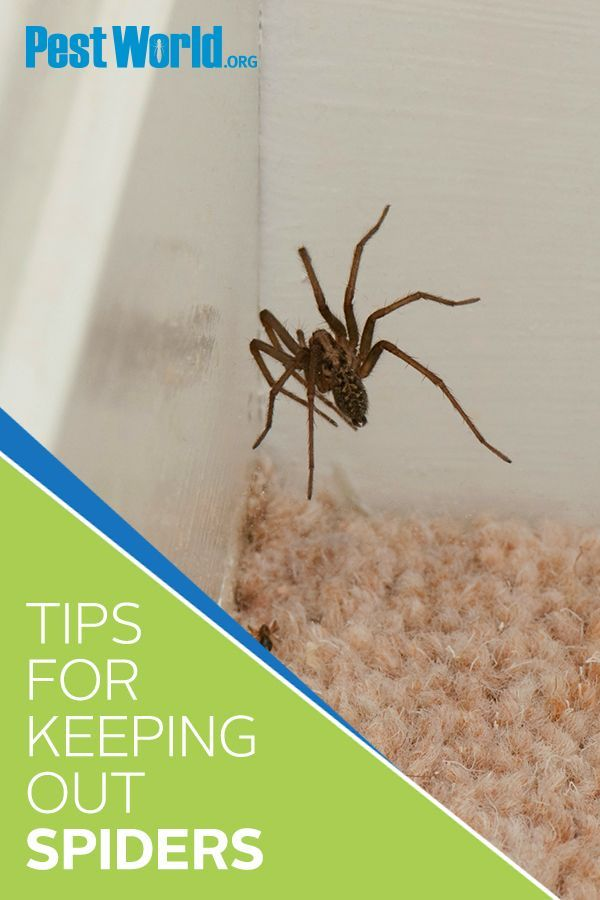 40 Best Spiders Images In 2020 Spider Control Brown Recluse Spider