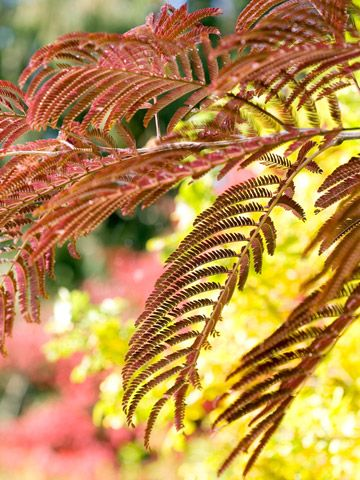 mimosa-This tree is considered invasive in some areas; check to see if it's problematic in your area before planting it.