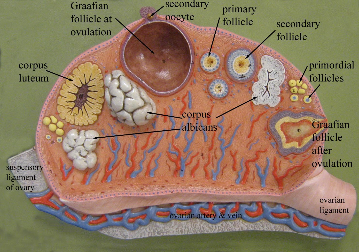 Female Anatomy Models Labeled Ovary Labeled Model 3 Human