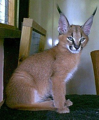 Another Caracal Cat cub.. look at those ears..lol