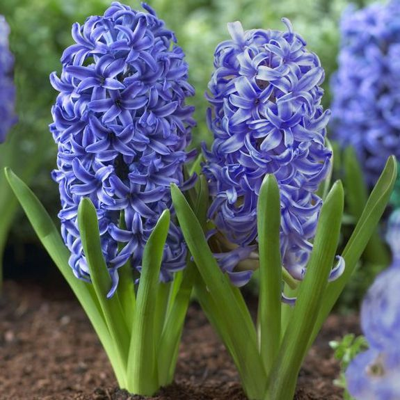 Hyacinth 'Blue Jacket'. One of the great blues of the flower world. The flowers have large, purple-blue florets with thin white edges. Highly fragrant. Mid-season, Orientalis type blooms