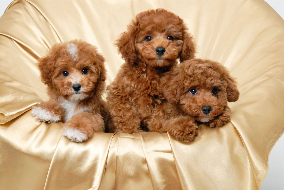 Poodle Puppies For Sale Or Adoption In San Diego Cute Puppy