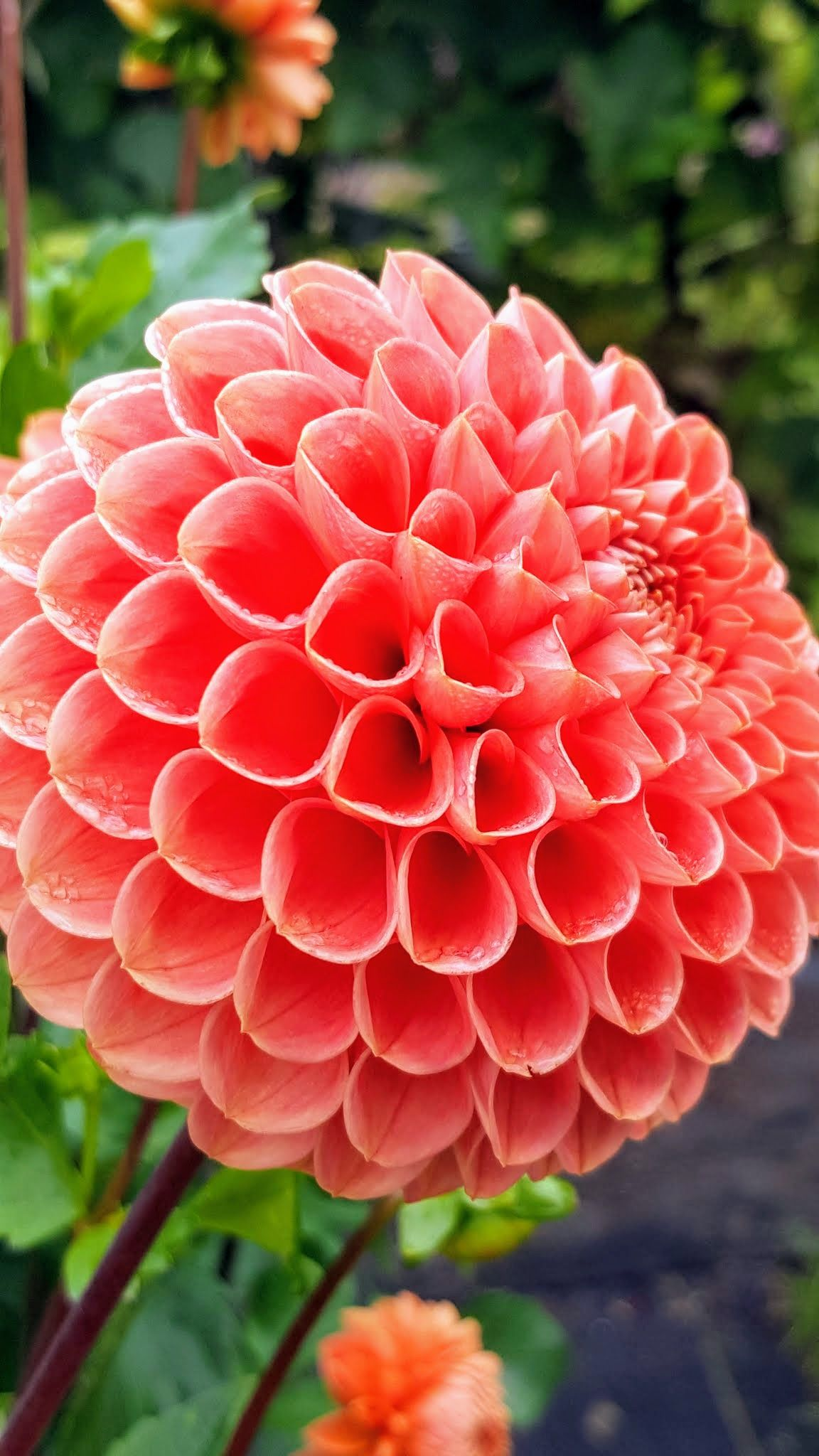 Dahlias are colorful spiky flowers which generally bloom from