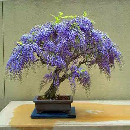 Jacaranda Mimosifolia Bonsai Bonsai Seeds Wisteria Bonsai Wisteria Tree