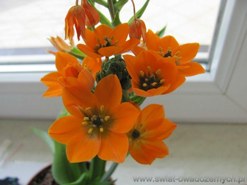 Ornithogalum Dubium Sniedek Watpliwy Piekna Roslina O Niezwyklych Pomaranczowych Kwiatach Plants