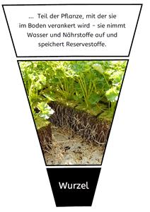 Pflanzenteile und ihre Funktionen