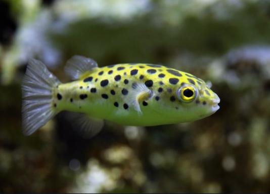 Types Of Puffer Fish Photo Gallery Petco Near Me In 2020 Dwarf Puffer Fish Puffer Fish Fish
