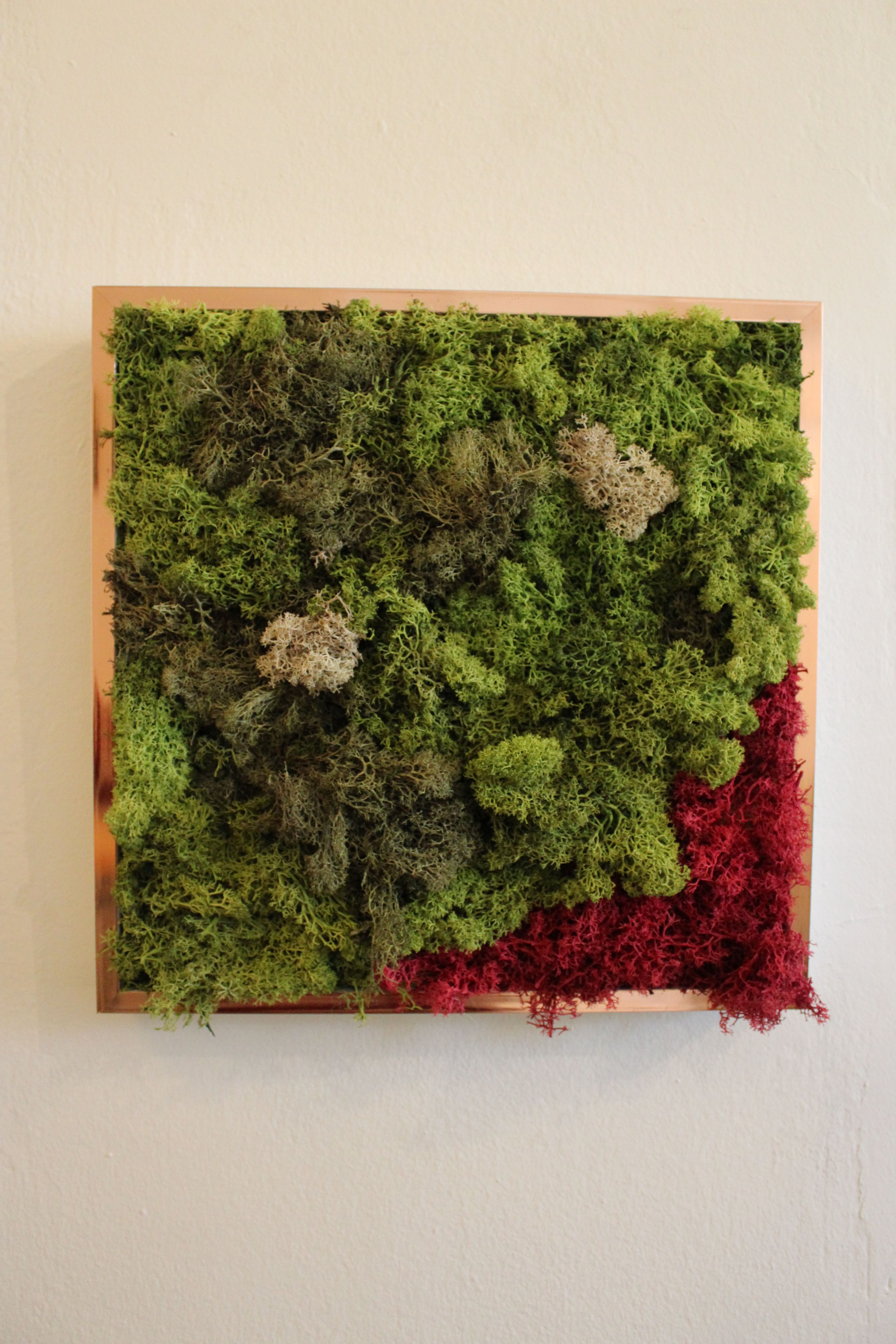 Cuadro de musgo preservado con el marco dorado. Medidas :31 x 32 x 3 ...