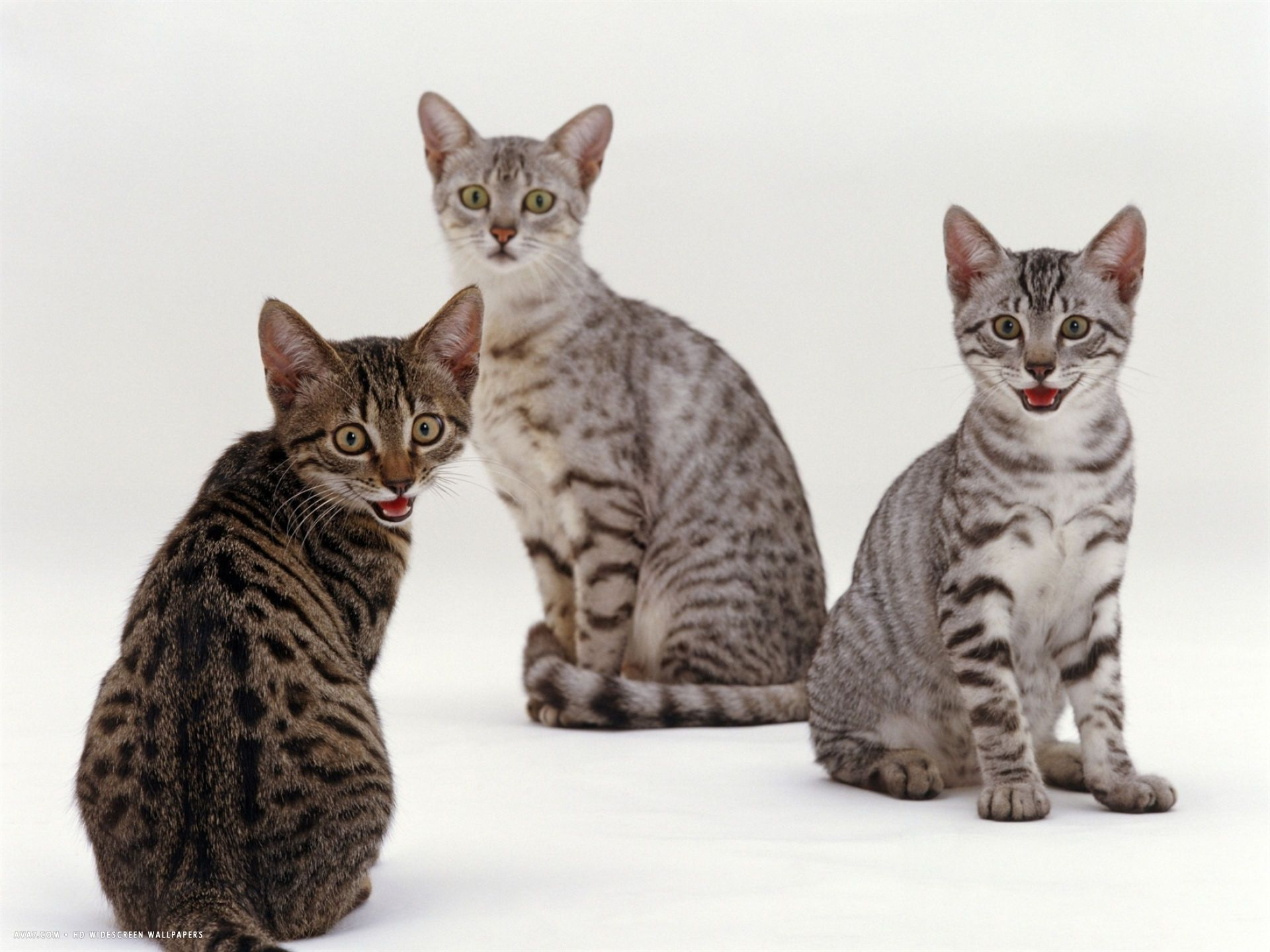 Female Silver Egyptian Mau With Two Of Her 14 Week Kittens Egyptian Maus Cat Are A Small To Medium Sized Short Haired C Egyptian Mau Egyptian Cats Kittens