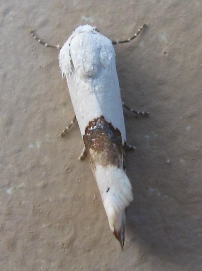 Ponometia elegantula, Arizona Bird Dropping Moth.