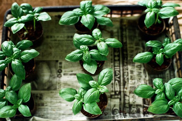 .I love fresh basil