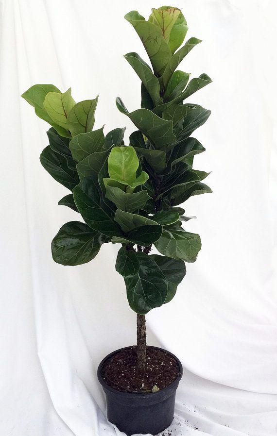 Fiddleleaf Fig Stylized Tree Shape - Ficus - Great Indoor Tree ...