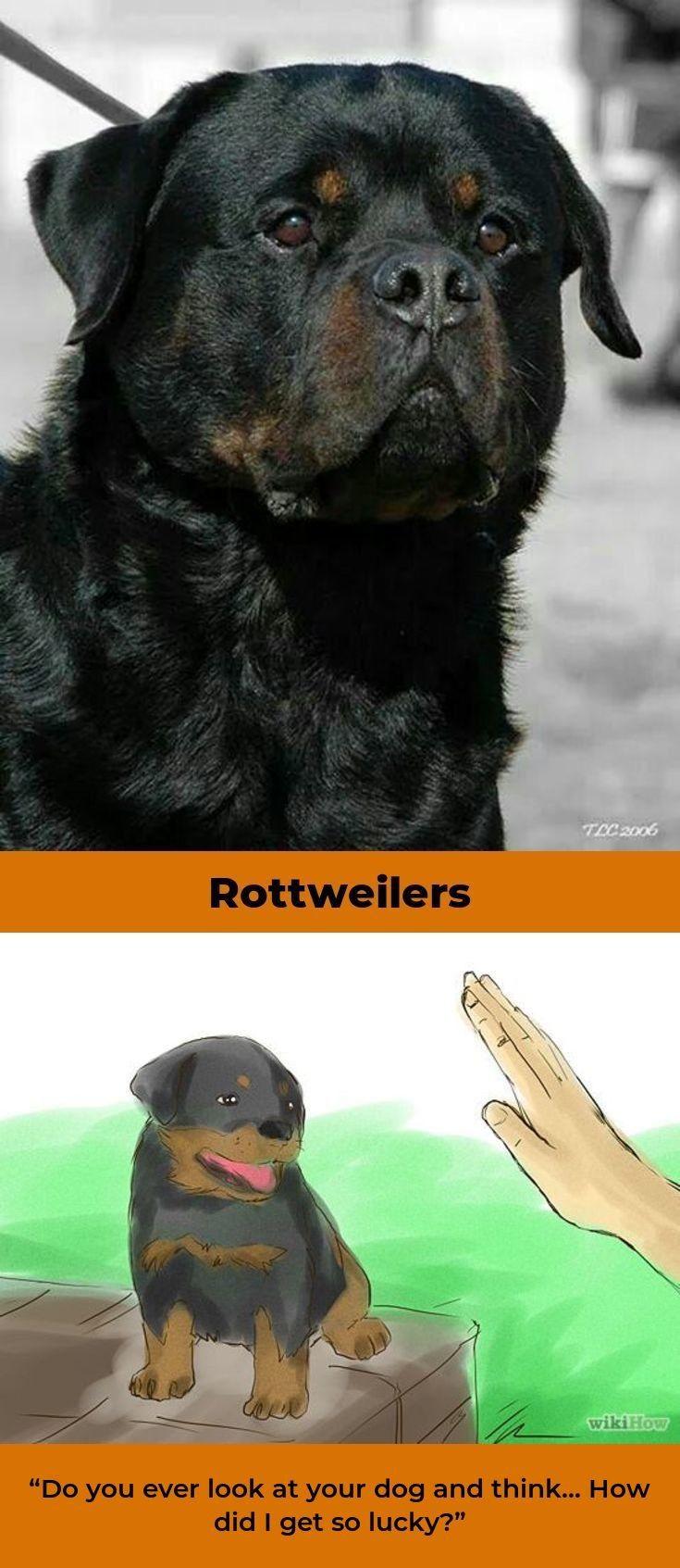 Rottweilers Rottweilerofinsta Rottweilerlover Rottweiler