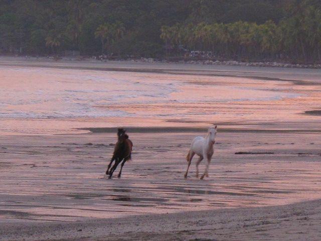 Freie Pferde toben sich beim Sonnenuntergang aus, Playa Samara, Costa Rica
