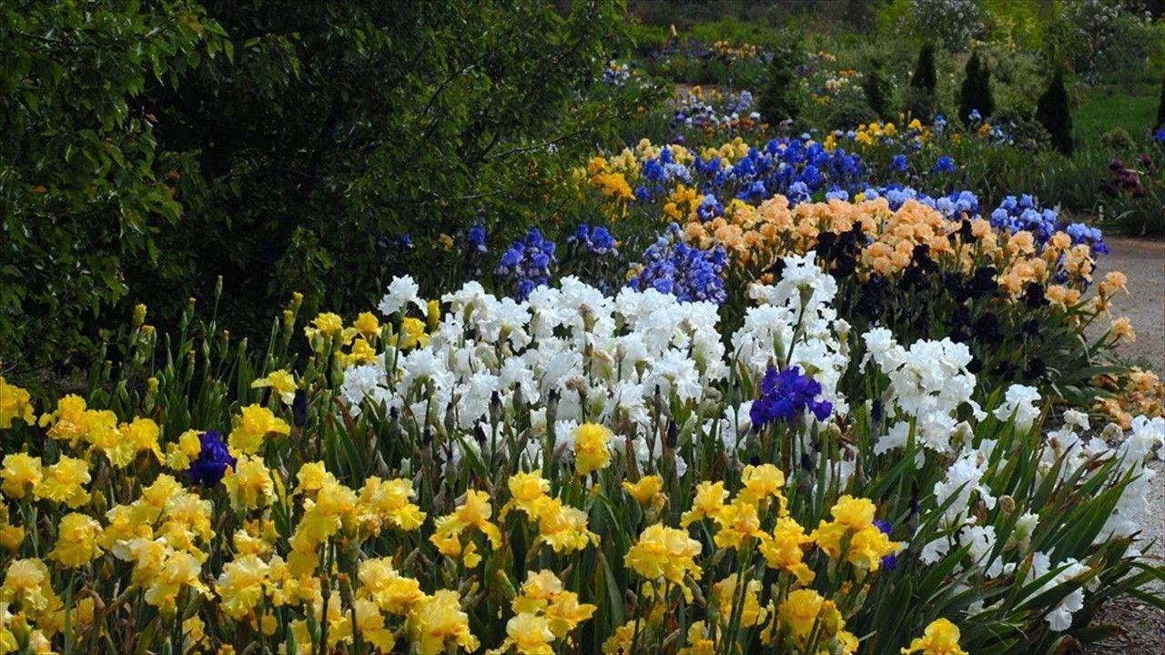 Perennial Gardening Tips Growing Irises Iris Flowers Iris Garden